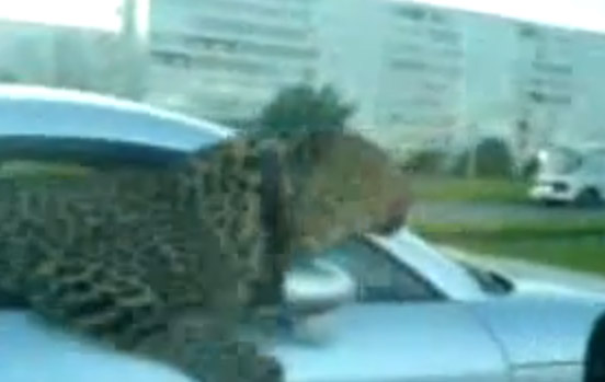 leopard_im_auto