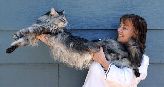 Laengste Katze der Welt