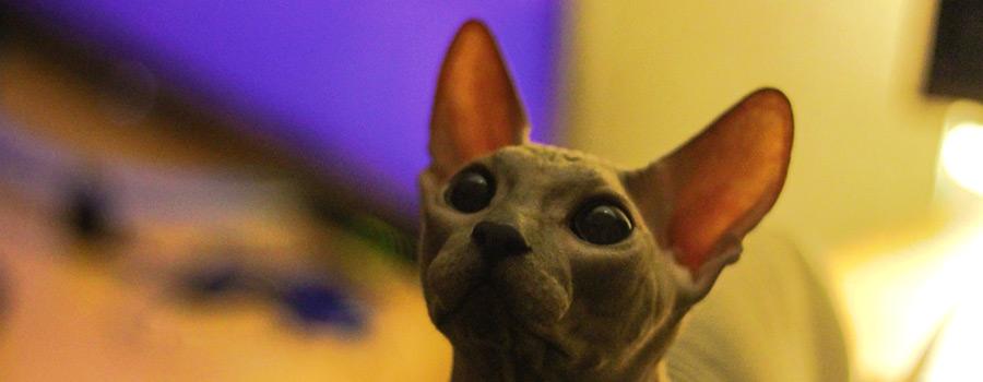 Grausiger Trend – Tätowierung von Nacktkatzen