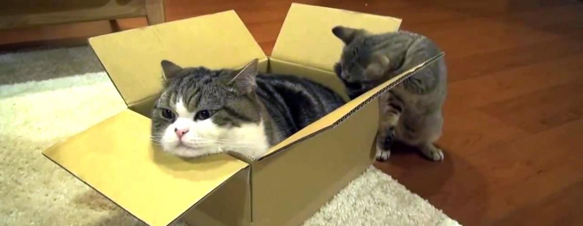 Katzen und Kartons – Eine innige Liebe!
