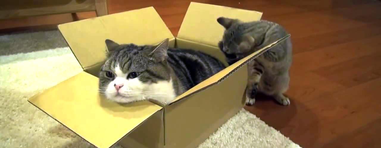 Katzen und Kartons - Eine innige Liebe!