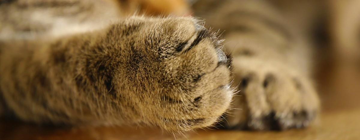 Krasse Verstümmelung – Krallenamputation bei Katzen