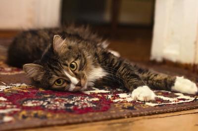 Katzenhaare von Teppichen und Couch entfernen